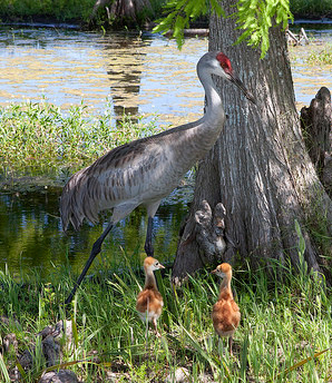sandhill crane with two baby cranes.